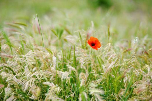 Lonely poppy flower