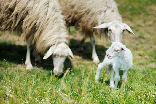 A lamb in Italian fields