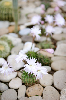 Aylostera narvaecensis cactus