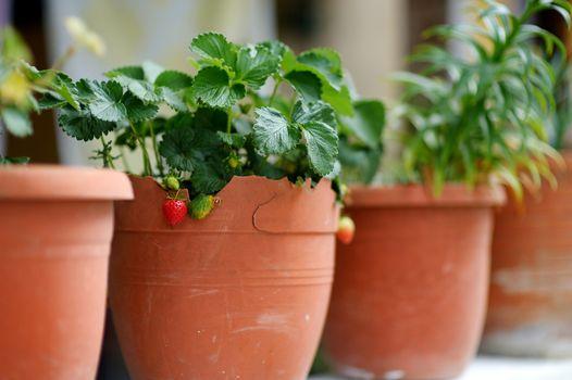 Strawberries growing in flower pot