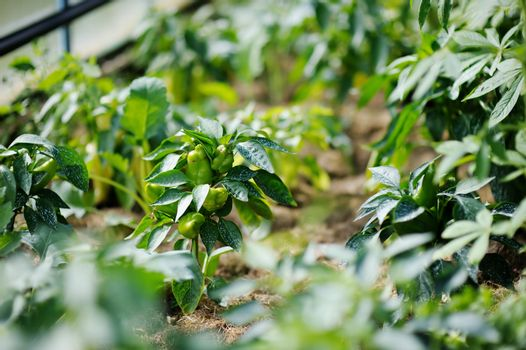 Pepper plant sprayed with protective mixture