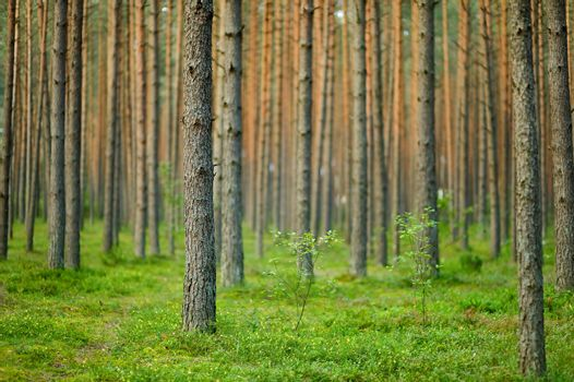 Summer forest scenery