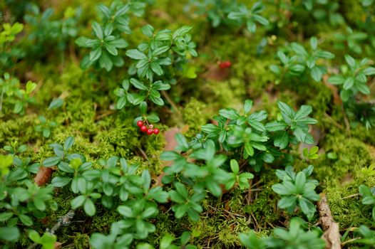 Wild forest berries on a bush