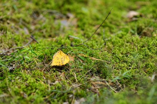 Yellow linden leaf on a green moss