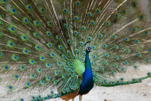A peacock displaying his plumage