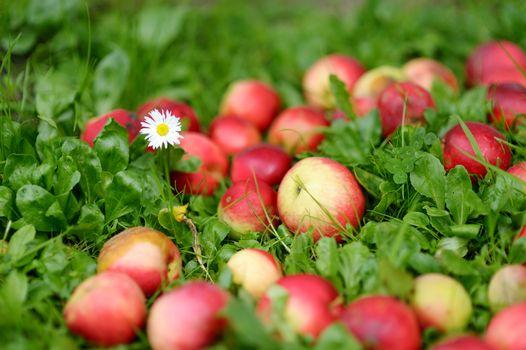Fresh ripe apples on green grass