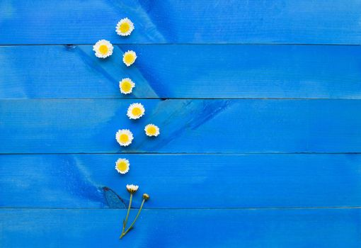 Chrysanthemums flower on blue wooden background. Copy space