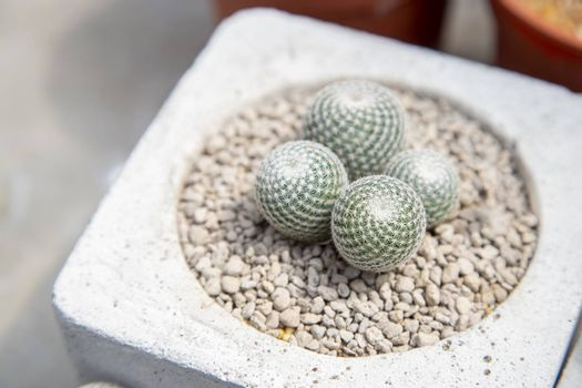 Cactus in pot with stone decorations