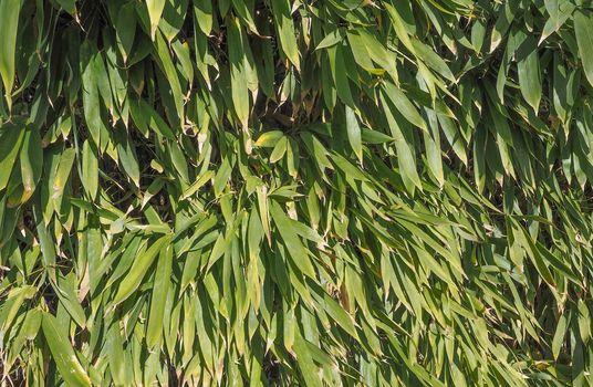 bamboo tree leaves