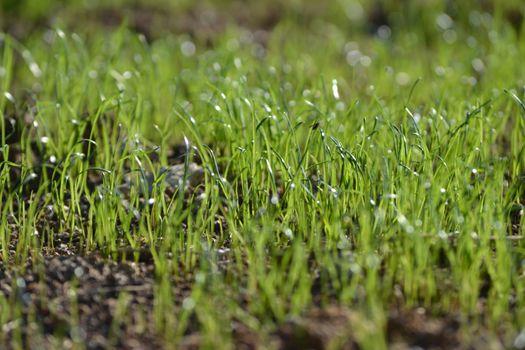 Fresh grass in the rain