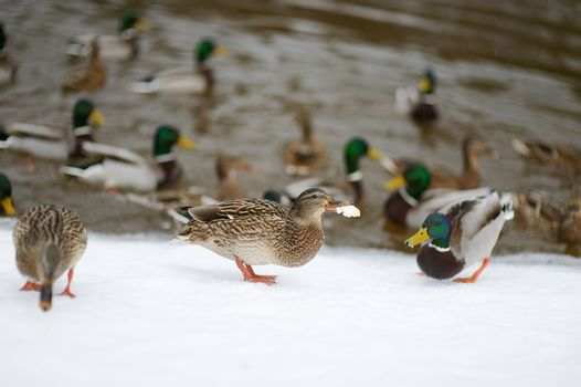 Lots of wild ducks by a river