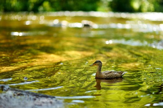 A duck in a river at summer