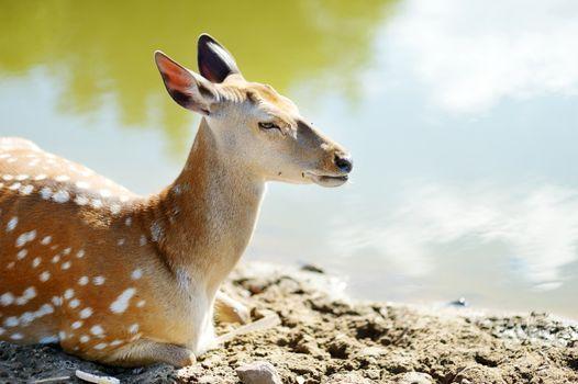 Cute spotted fallow deer