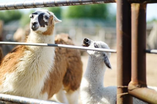 Adult and baby llama behind the fence