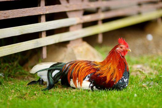 Beautiful wild rooster on Kauai island, Hawaii