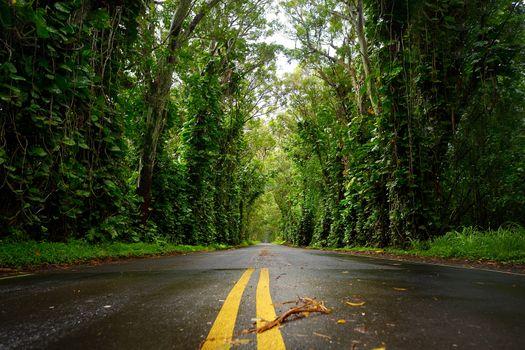 Eucalyptus tree tunnel near Koloa Town on Kauai, Hawaii
