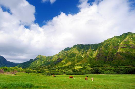 Cliffs and cows of Kualoa Ranch, Oahu, Hawaii
