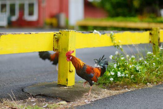 Beautiful wild rooster on Kauai island