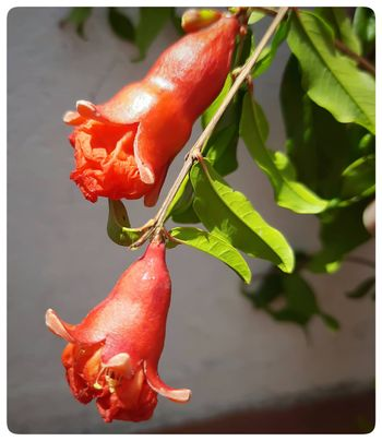Reddish Pomegranate plant with flower and its leaves beautifully make leaf tea and healthy vitamin c great drink to soothe the stomach juice good for health