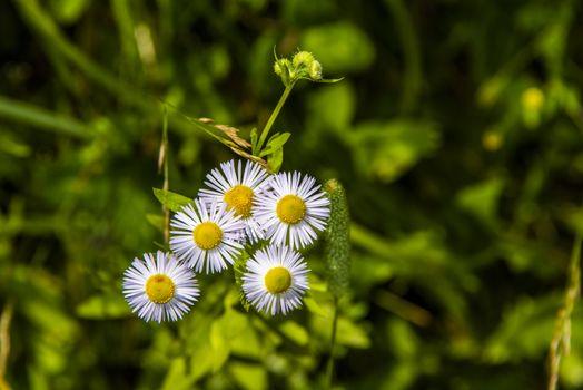 Erigeron annuus in summer with white background
