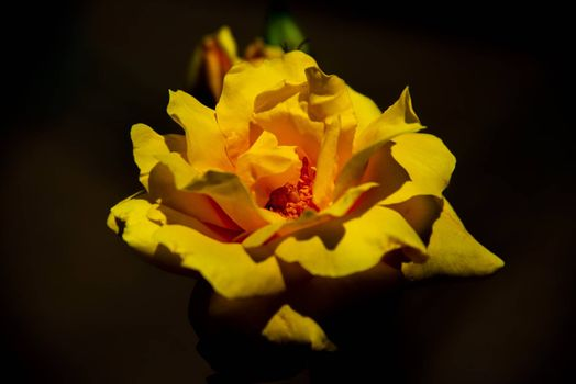 closeup of a yellow rose with dark background and closed petals