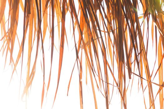 Close up of roof made from dry grass on white wall background. Dried palm leaves roof