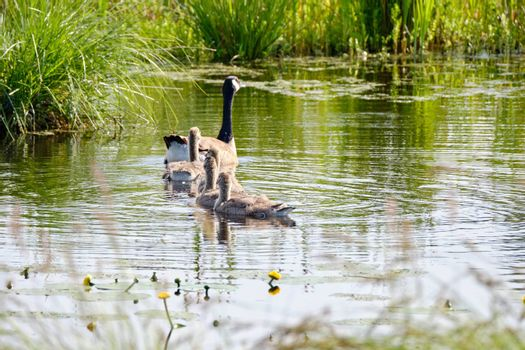 Canada goose with newly hatched chicks, swimming in the water, soft yellow chicks.