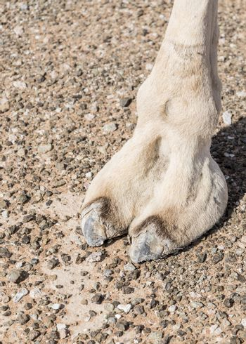Closeup of Camel foot in the desert of Sharjah Emirates, United Arab Emirates
