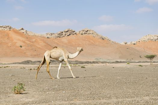Camel walking in the desert of the United Arab Emirates (UAE), Middle East , Arabian Peninsula