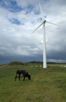 A wind turbine in a cow field