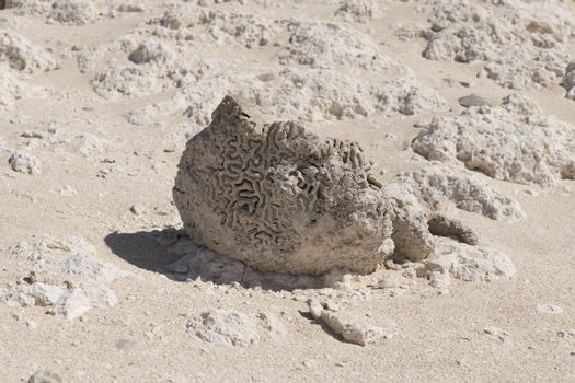 Coral fossils found at Rock Garden (also called Rock Zoo of Duqm or Duqm Stone Park), a famous tourist attraction of a 3 square kilometer of rock formations (shaped by wind, water and other natural forces), limestone and marine fossils, Duqm, Sultanate of Oman