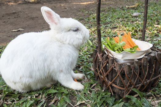 Cute little white bunny rabbit eating vegetable snack on a green lawn.