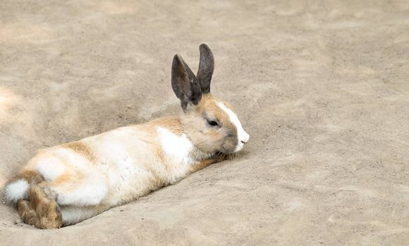 Cute little  dark-eyed rabbit with long ears laying on the ground. Selective focusing.