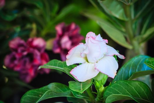 Beautiful hybrid Adenium Obesum (Desert rose) white layers flower for sale at the tree market.