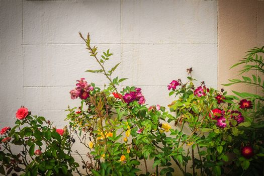 Vintage of colorful rose flowers on tree with white grungy brick wall background. Beautiful rose bushes with pink and purple flowers on vintage brick wall background.