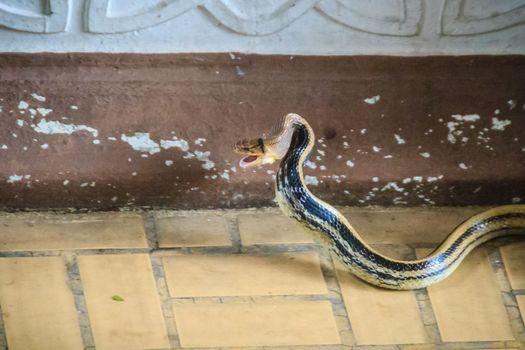 Big radiated ratsnake is entering the house. The radiated ratsnake, copperhead rat snake, or copper-headed trinket snake (Coelognathus radiata) is a nonvenomous species of colubrid snake.