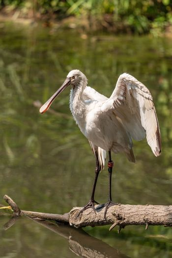 Eurasian common spoonbill opens wings on a tree branch in a pond, image of white bird with large flat beak