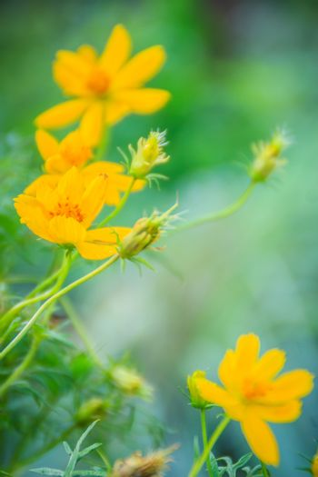 Beautiful of yellow cosmos flower in the green background. Cosmos is a genus, with the same common name of cosmos, consisting of flowering plants in the sunflower family.
