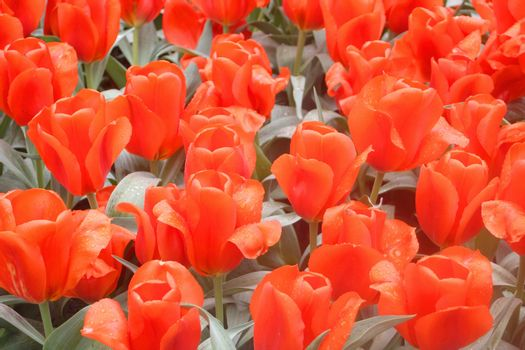Colorful tulips in Keukenhof garden -Holland