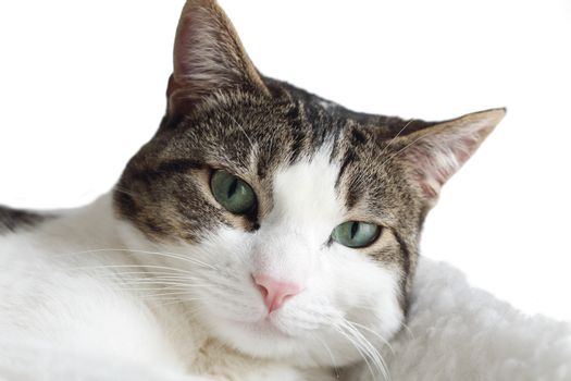 Close up of tabby cat on white background