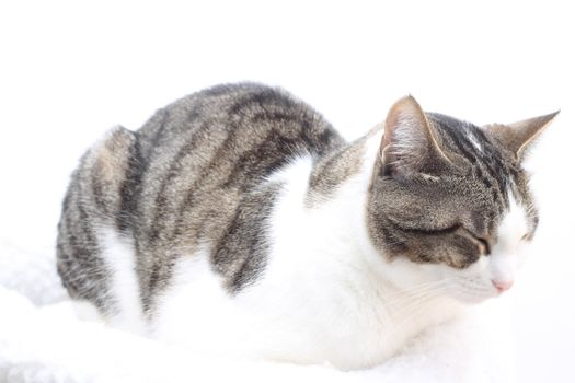 Tabby cat on white background. Eyes closed