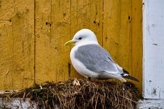 Seagull bird close up