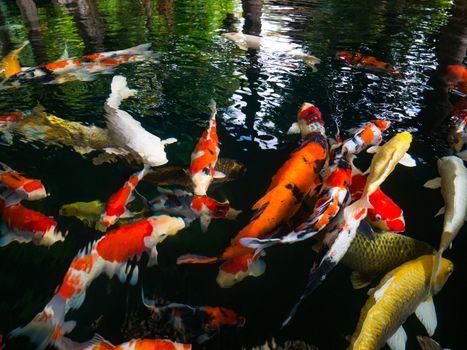 Fancy carp, Mirror carp, Koi, Nishikigoi Animal auspicious feng shui home.