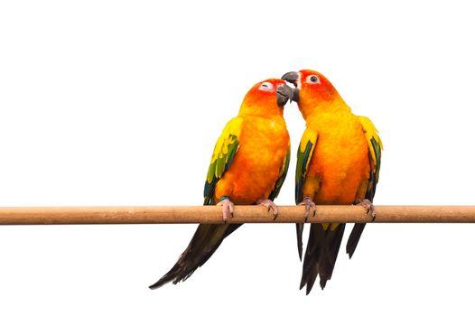 Pair of Colorful Sun Conure, beautiful yellow parrot birds