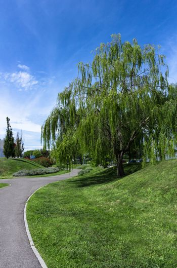 Weeping willow tree in an tidy urban park