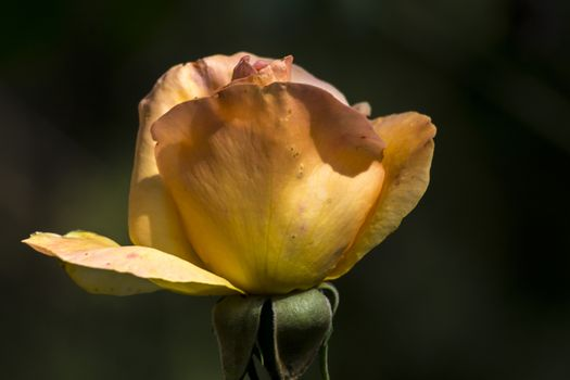 The yellow rose is filled with water droplets.