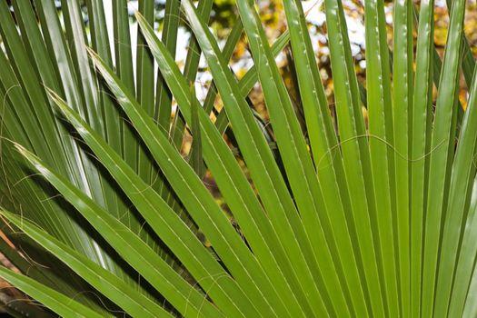 Large green radiating leaves of a latan fan palm (Latania lontaroides), Pretoria, South Africa