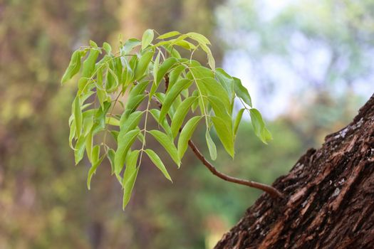 Lush young green leaf branch sprouting from an old rough bark tree trunk, Pretoria, South Africa
