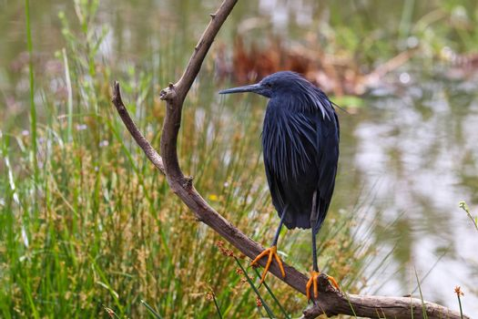 A black egret bird (Egretta ardesiaca) perched on an old branch by a lake, Pretoria, South Africa