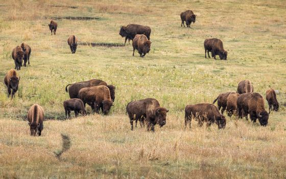 Masses of american bisons eating grass on grassy valley in natural park.